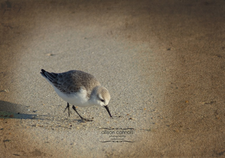 Piping_Plover_2_Web